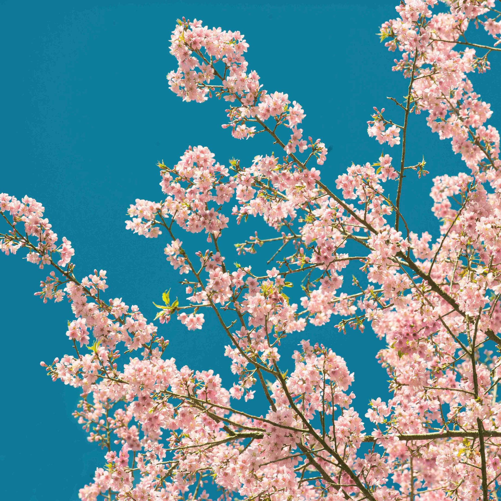 Cherry Blossom Wall Mural, ...
